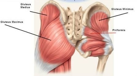Glutes detailed structure