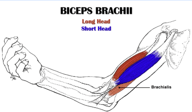 Biceps Structure