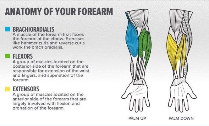Forearms Structure