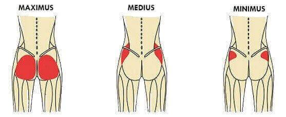 Glutes Anatomy structure