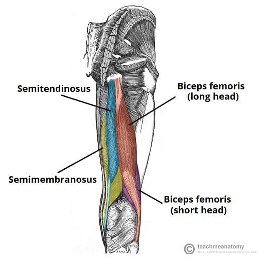 Hamstring anatomy Muscles