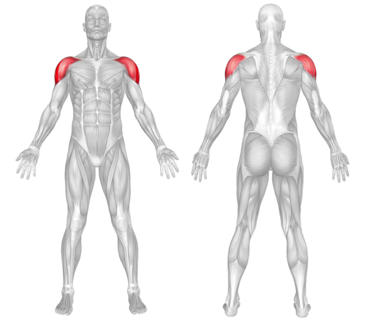 Biceps Muscle Anatomy