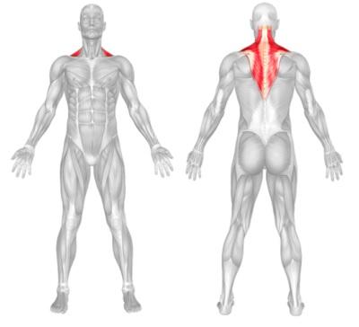 Traps Anatomy