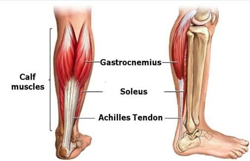calf leg muscle anatomy