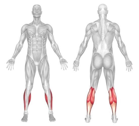 calves body muscle anatomy