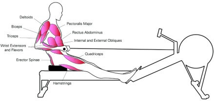 muscles worked when using rowing machine