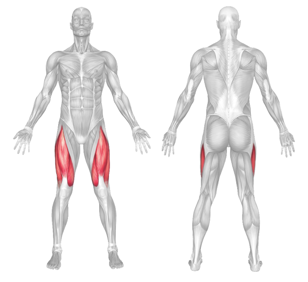 quads muscle anatomy